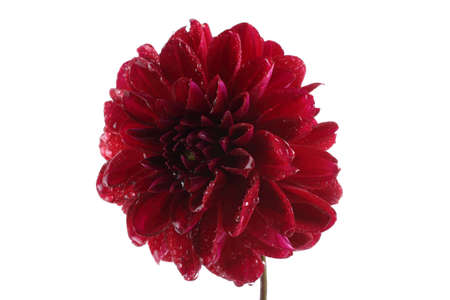 Growing burgundy dahlia