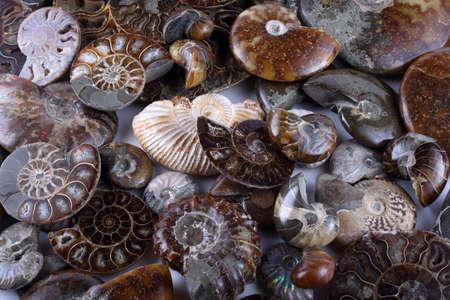 Ammonite background. Different ammonite varieties Stock Photo