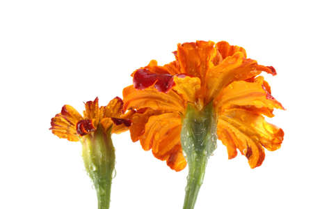 Growing marigolds isolated on white