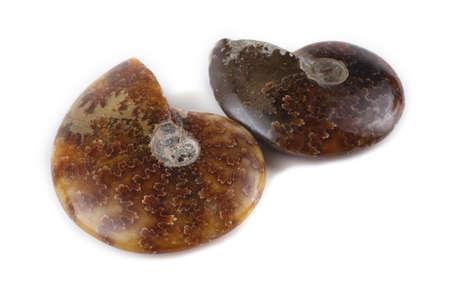 Ammonites isolated on white