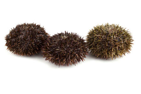 Gray sea urchins
