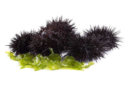 Black sea urchins on alga