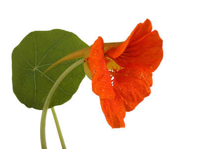 Growing nasturtium isolated on white