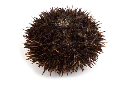 Gray sea urchin on white background Imagens - 128338190