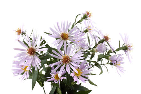 Growing asters isolated on white