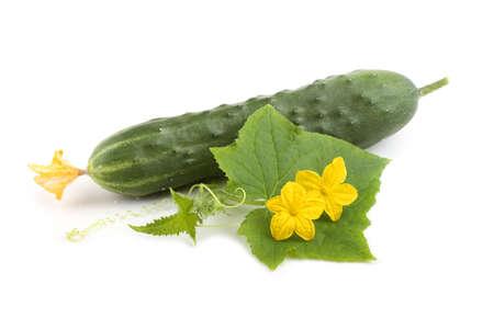 Cucumber, leaf and flowers Фото со стока