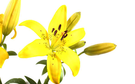 Yellow lily isolated on white
