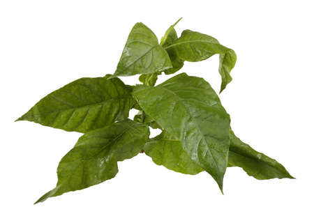 Green tobacco plant isolated on white