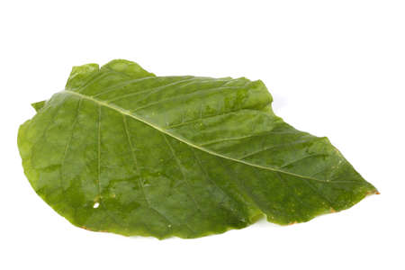 Tobacco leaf isolated on white Stock fotó