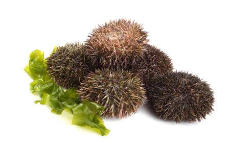 Gray sea urchins on alga