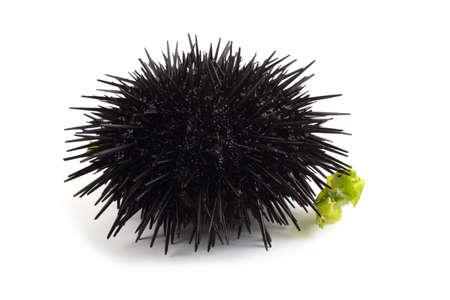 Black urchin and alga  on white background