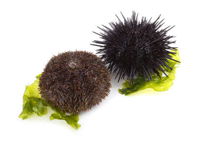 Gray and black urchins