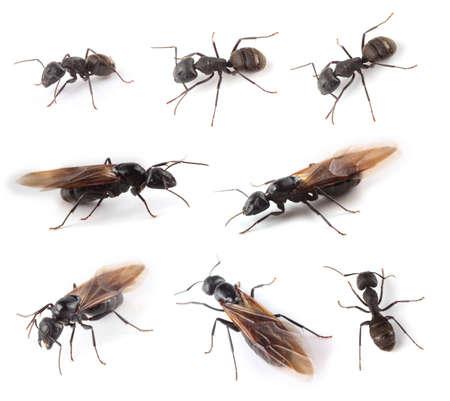 Duże mrówki na białym tle