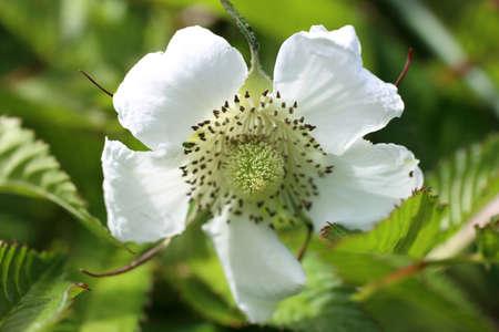 Rubus rosifolius flower close up Stock Photo