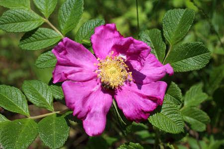 Dog rose flower (Rosa rugosa, beach rose, Japanese rose) Stockfoto