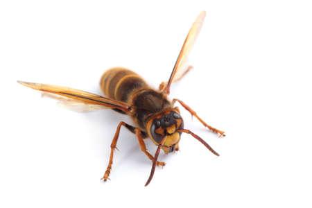 Hornet isolated on white (Vespa simillima)