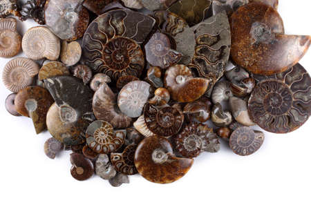 Ammonites isolated on white. Different ammonite varieties 版權商用圖片