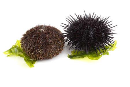 Gray and black sea urchins on alga