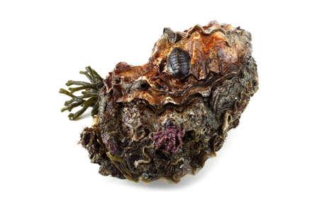 Oyster and alga isolated on white. Fresh sea food