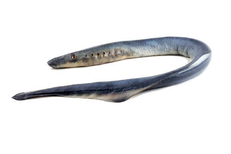 Lamprey fish. Vampire.It stick to another fishes and drink its blood and eat meat. This fish is delicacy. Stock Photo