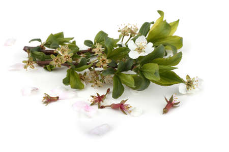 Plum flowers isolated on white background