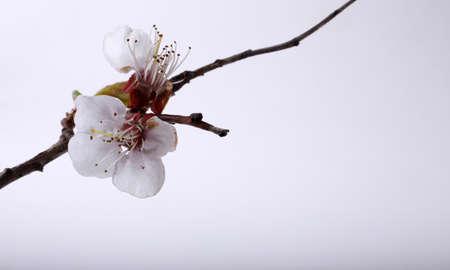 Sakura blossom on gray background