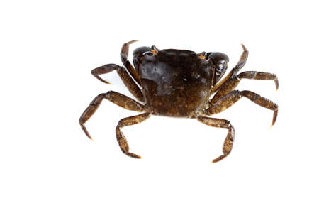 Little crab with big claws Stockfoto