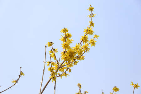 Yellow forsythia growing in garden. Spring blossom
