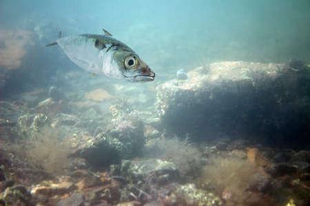 Japanese mackerel swimming in sea