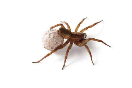 Wolf spider with cocoon isolated on white