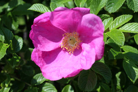Dog rose flower (Rosa rugosa, beach rose, Japanese rose)