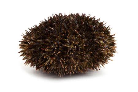 Gray sea urchin