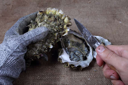 Oyster opening. Hands with oyster knife.