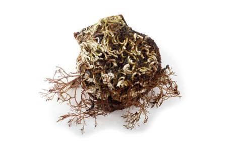 Scallop and alga