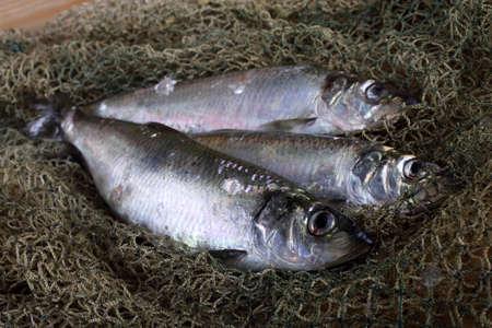 Herring on net. Fresh sea fish catch