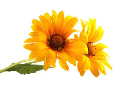 Yellow chamomiles Imagens
