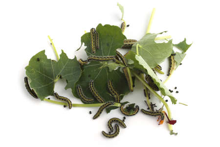Caterpillars are eating green nasturtium leaves