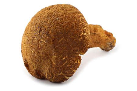 Rugiboletus extremiorientalis mushroom. Far eastern bolete