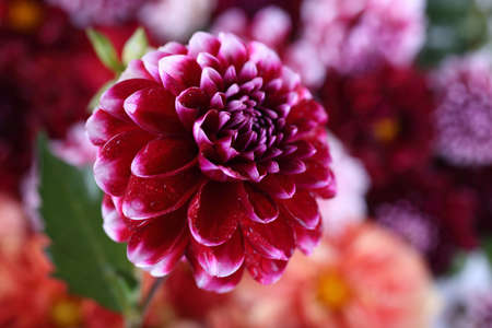 Dahlia flower and bokeh flowers background
