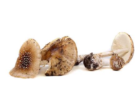 Amanita pantherina isolated on white. Poison mushroom.