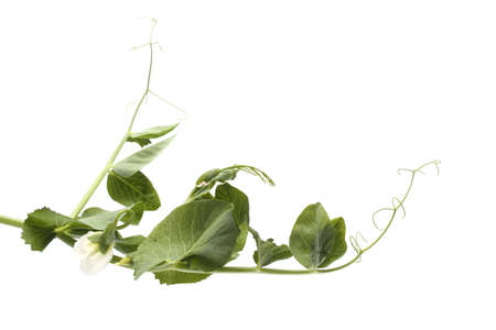 Pea plant isolated on white Archivio Fotografico