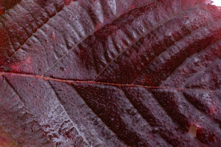Autumn blackberry red leaf Archivio Fotografico