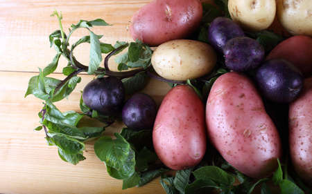 Potato harvest. Different varieties. Violet, pink and white