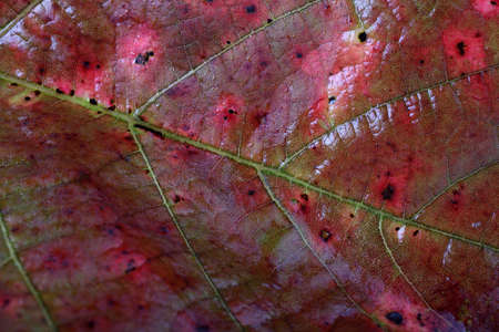 Autumn blackberry leaf