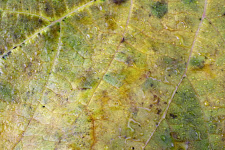 Autumn grape leaf