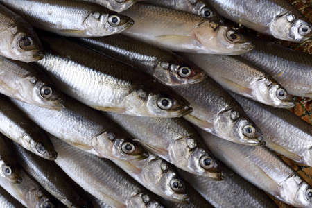 Smelt fishes on net. Pacific smelt fish variety