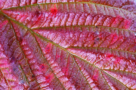 Autumn raspberry leaf