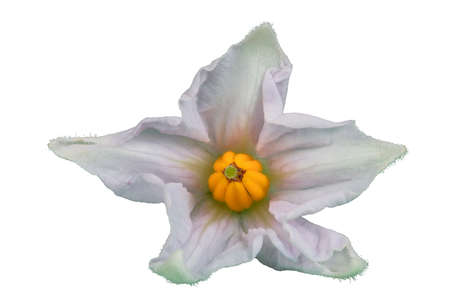 Potato flower isolated on white. Very detailed
