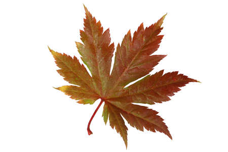 Autumn maple leaf. Detailed retouch Archivio Fotografico
