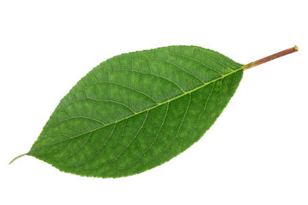 Sweet cherry leaf. Detailed retouch